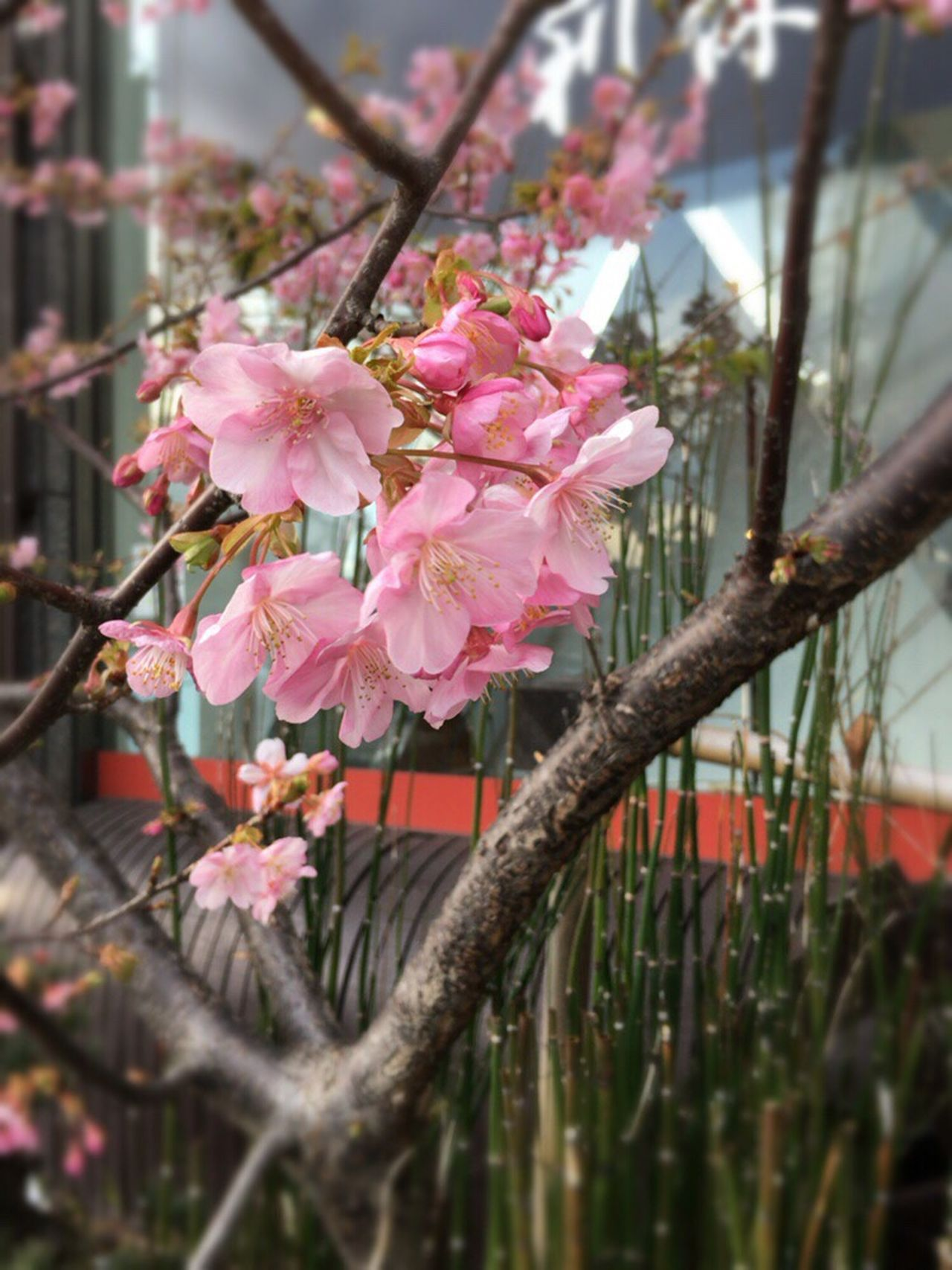Kyoto Sakura 2017 Kyoto Sakura Kyoto Spling Kyoto Spling Flower Sakura 2017 Kyoto Cherry Blossom Cherry Blossoms Kyoto,japan Kyoto City Cherry Blossom Sakura Equisetum Hyemale TOKUSA
