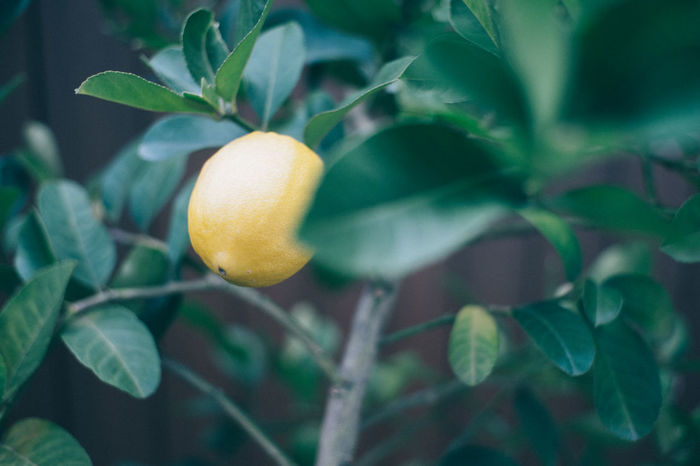 Agriculture Beauty In Nature Branch Citrus Fruit Close-up Day Food Food And Drink Freshness Fruit Growing Growth Healthy Eating Leaf Lemon Lemon Tree Nature No People Orange Tree Outdoors Plant Ripe Tree Yellow