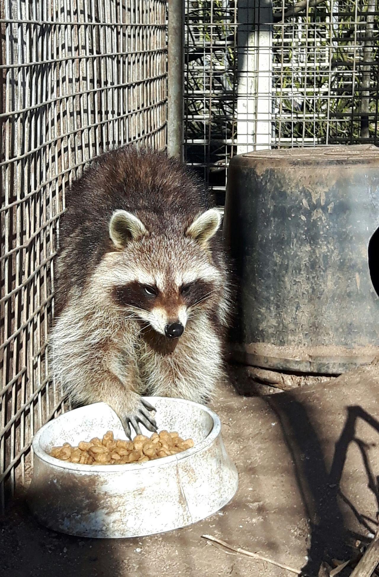 Beautiful stock photos of raccoon,  Animal Themes,  Animal Wildlife,  Animals In Captivity,  Cage