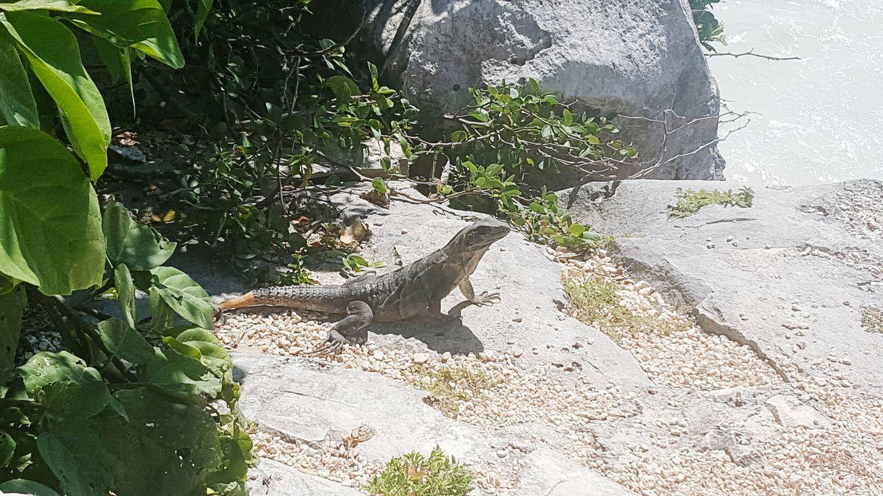 Lizard Nature Iguana