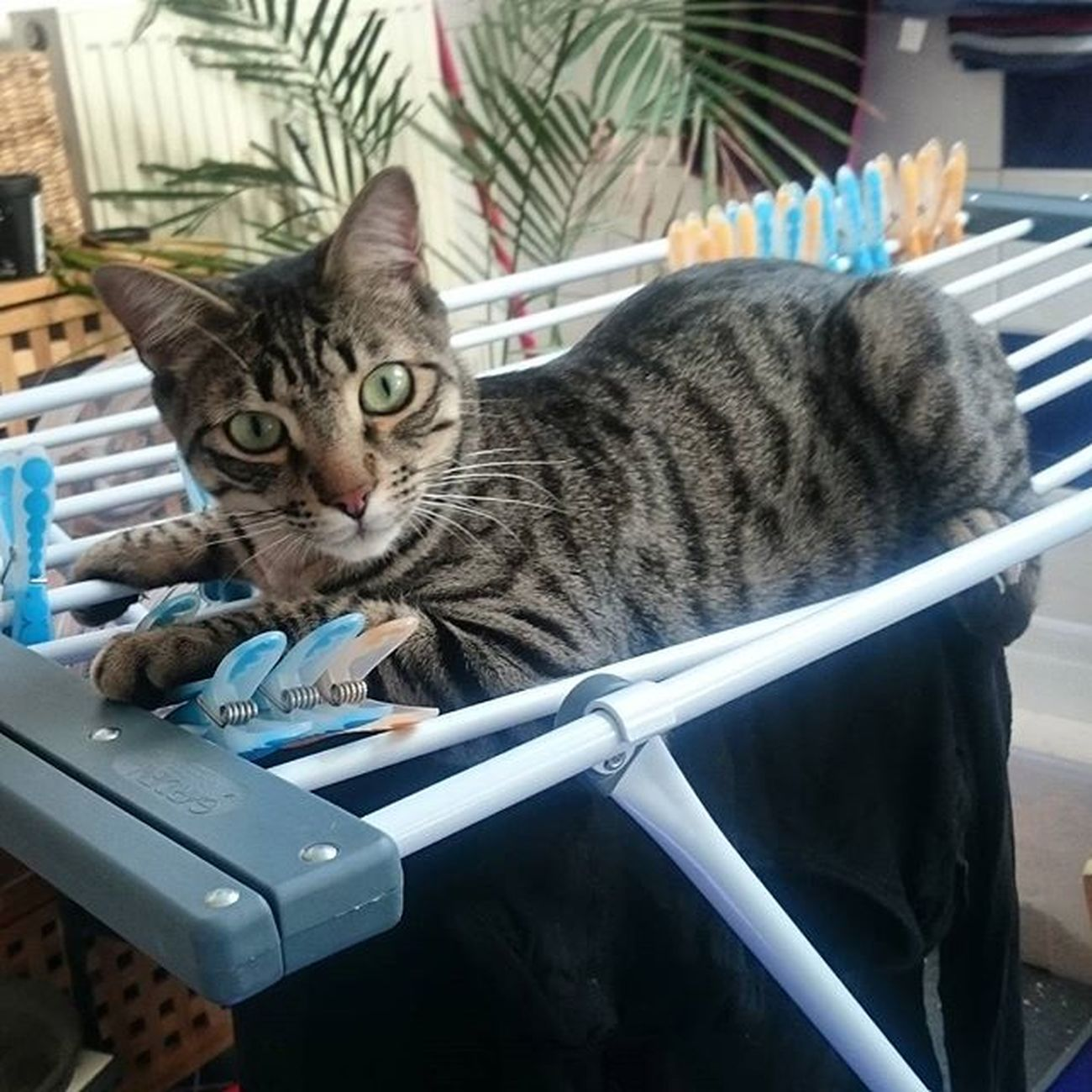 Machen eure das auch? Und was ist eigentlich das Maximalgewicht, das so ein Wäscheständer aushält? 😸 Rayado_the_cat Bengalmix Catspamforever Catlaundry Katzenwäsche