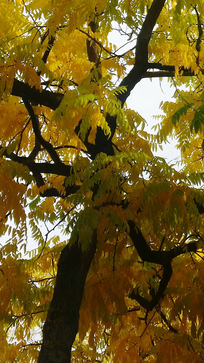 Black&Yellow Tree Nature No People Beauty In Nature Outdoors Horizontal Backgrounds Day Couleurs Taking Pictures EyeEm Nature Lover Nature Autumn🍁🍁🍁 Autumn Melancholy Autumn 2016 TreePorn Yellow Color Yellow Tree.