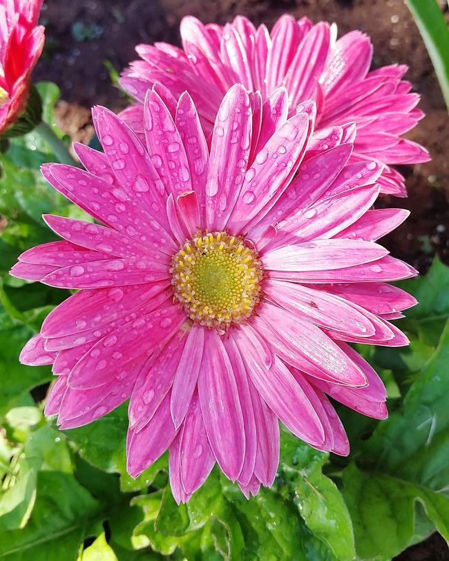 Gardening Flowerbed Water Droplets Colors Pedals Magic Mothernature Gerber Daisy Proud Hotpink Jewels Sun Rain Home Girlpower Photography