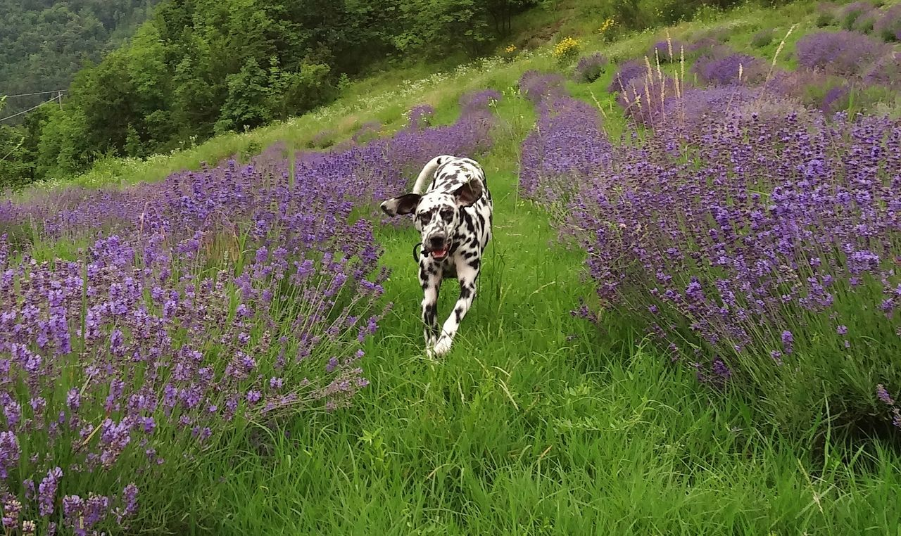 Dalmatian JOY in lavenderfield of Agriturismo Verdita, Piedmont, Italy www.verdita.com Agriturismo Agriturismo Verdita Dalmatian Dalmatians Dalmatiansofinstagram Dog Italy Lavender Lavender Farm Lavender Field Piedmont Piemonte Spotted Dog Verdita
