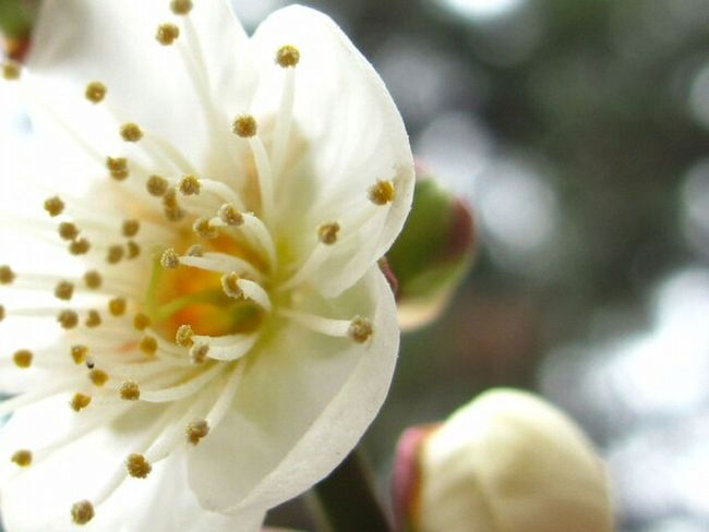 Japanese plum blooms Flowers Beautiful Winter Canon Photography Japan Floweroftheday Keicomoment