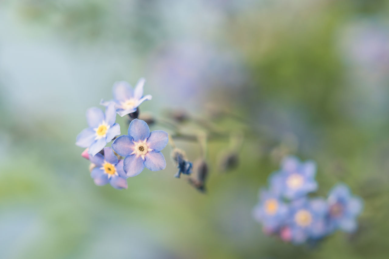 Forget Me Not 8 Beauty In Nature Blooming Blue Flowers Bokeh Bokeh Photography Close-up Day Flower Flower Head Flowers Forget Me Not Fragility Freshness Growth Macro Macro Photography Nature No People Outdoors Petal Plant
