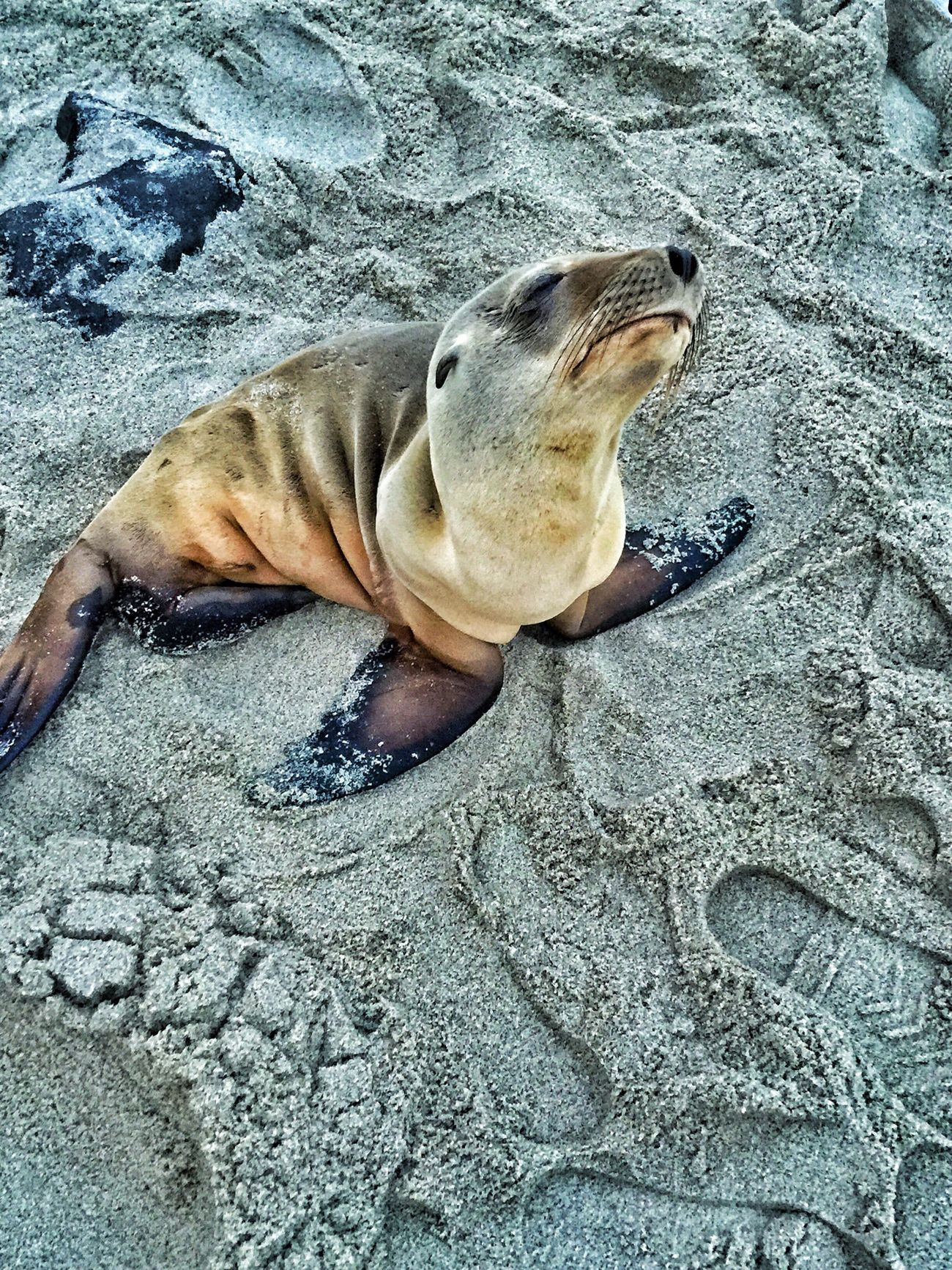 Baby Seal Seal Beachlife Oceanside Ready For My Close Up