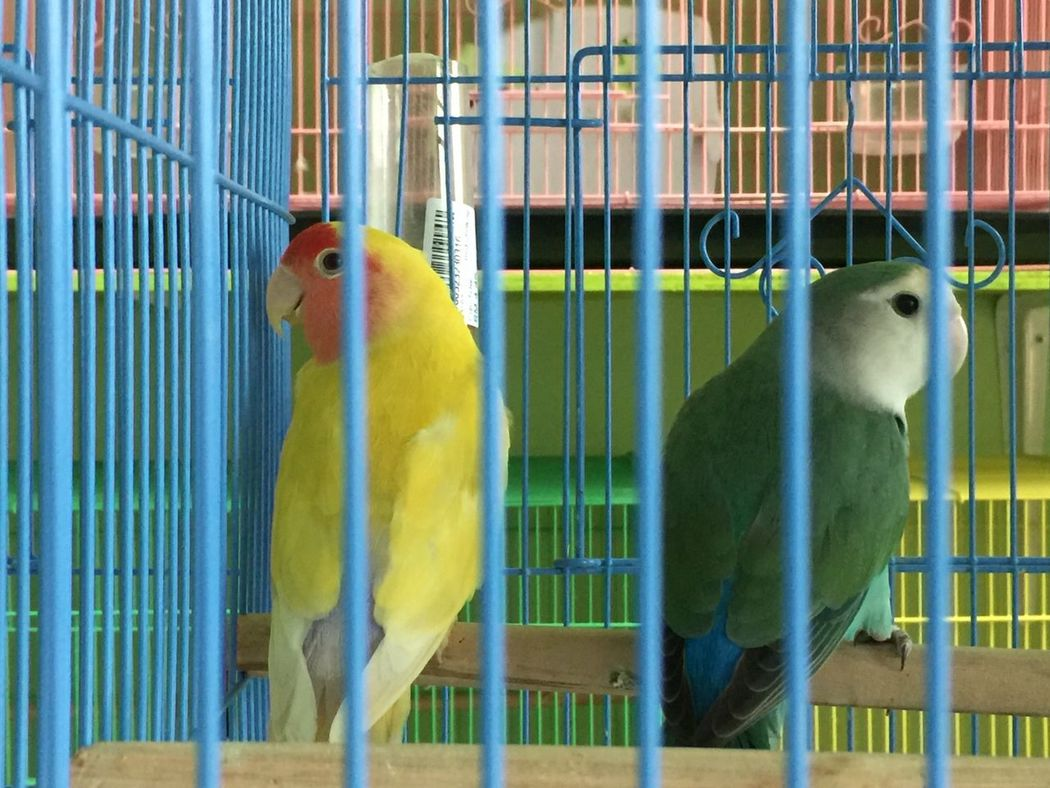 At the pet shop Birdcage Animals In Captivity Animal Themes Cage Perching Trapped Parrot Pets
