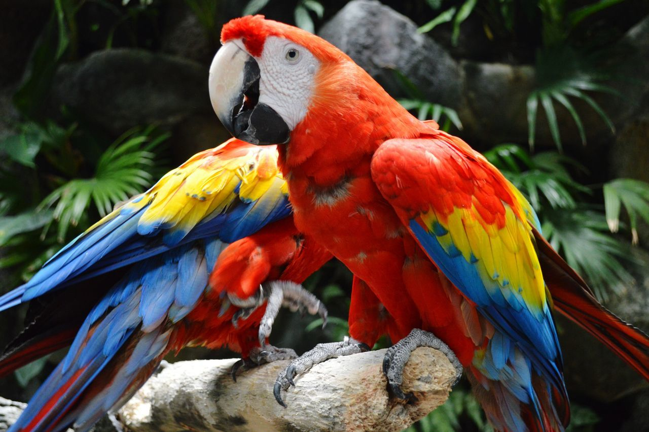 Macaws Macaw Red And Go Macaw Red Macaw, Bird Bird Photography Birds Of EyeEm  Beauty In Nature Birds_collection Macaws On A Log Macawsofinstagram Red Red Color Blue Color Yellow Naturelover Bird Close Up Aviary