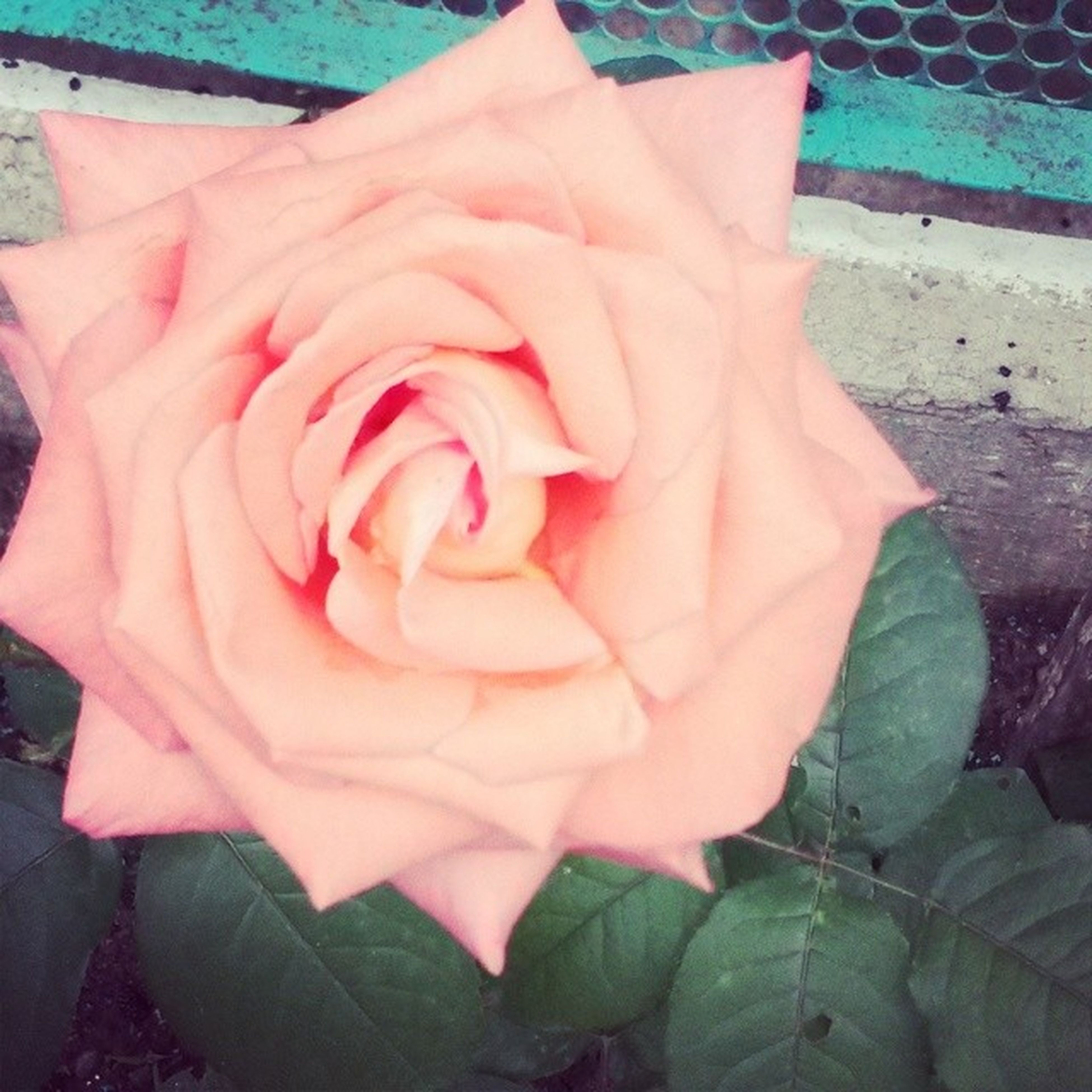 flower, petal, flower head, rose - flower, fragility, freshness, single flower, close-up, pink color, beauty in nature, leaf, growth, nature, rose, plant, blooming, high angle view, no people, day, focus on foreground