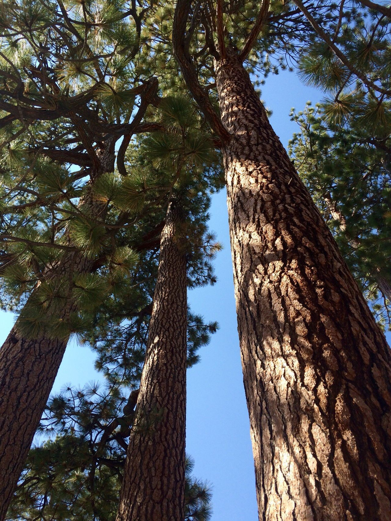 Hike Tree Low Angle View Tree Trunk Nature Growth No People Outdoors Day Sky Beauty In Nature Pine