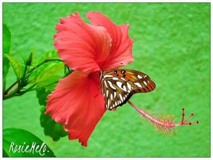 Borboletas+Hibisco💖💖 EyeEm Nature Lover Nature_collection Natureza 🐦🌳 Borboletas BorboletaÉFlor LoveFlowers🌸 Hibiscus 🌺 Amoflores Papillon Butterfly