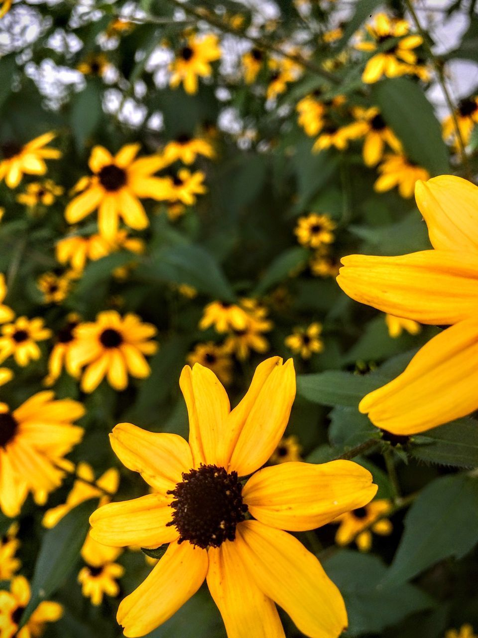 A sea of Black-Eyed Susans Flower Yellow Beauty In Nature Focus On Foreground Blossom Full Frame Botany In Bloom Flora Plant Inmygarden