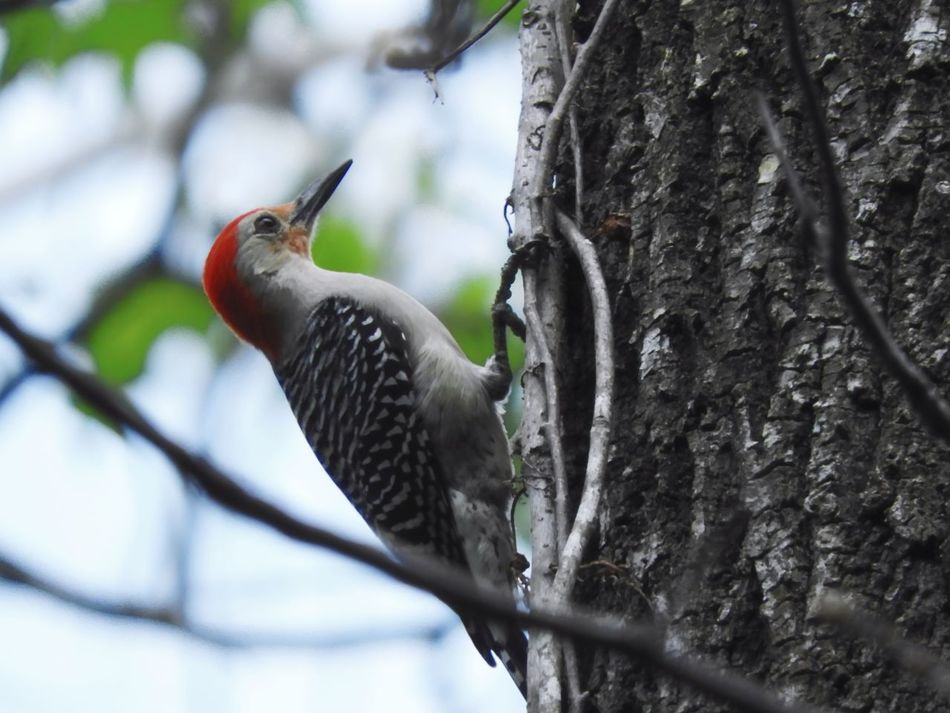 One Animal Bird Tree Perching Animal Wildlife Animals In The Wild Woodpecker Animal Themes Nature Outdoors Day No People Close-up Red Headed Woodpecker Trees EyeEmNewHere The Week Of Eyeem Beauty In Nature Tree Fragility Nature Wood Pecker Birds