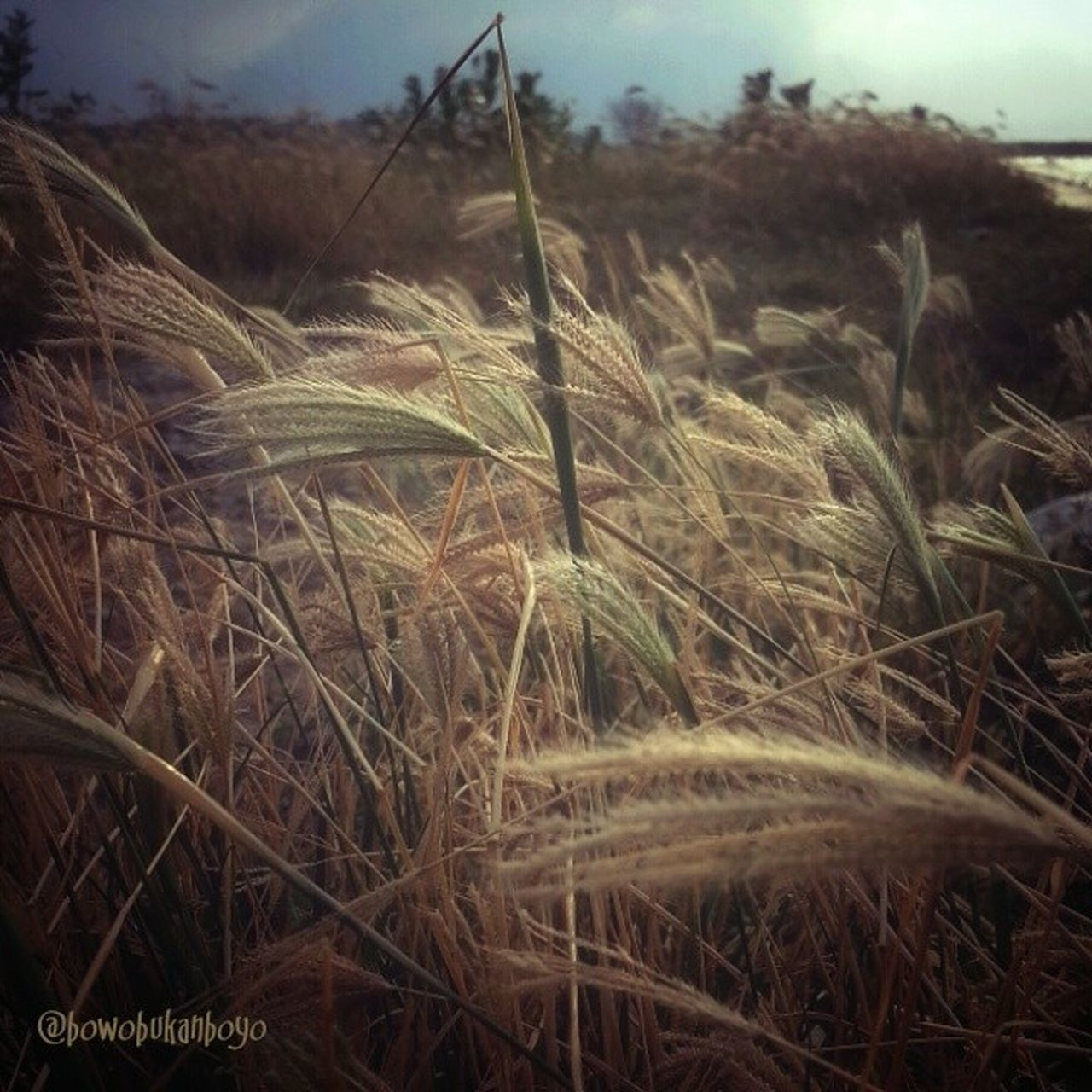 growth, nature, field, plant, no people, tranquility, outdoors, day, beauty in nature, wheat, agriculture, close-up, sky