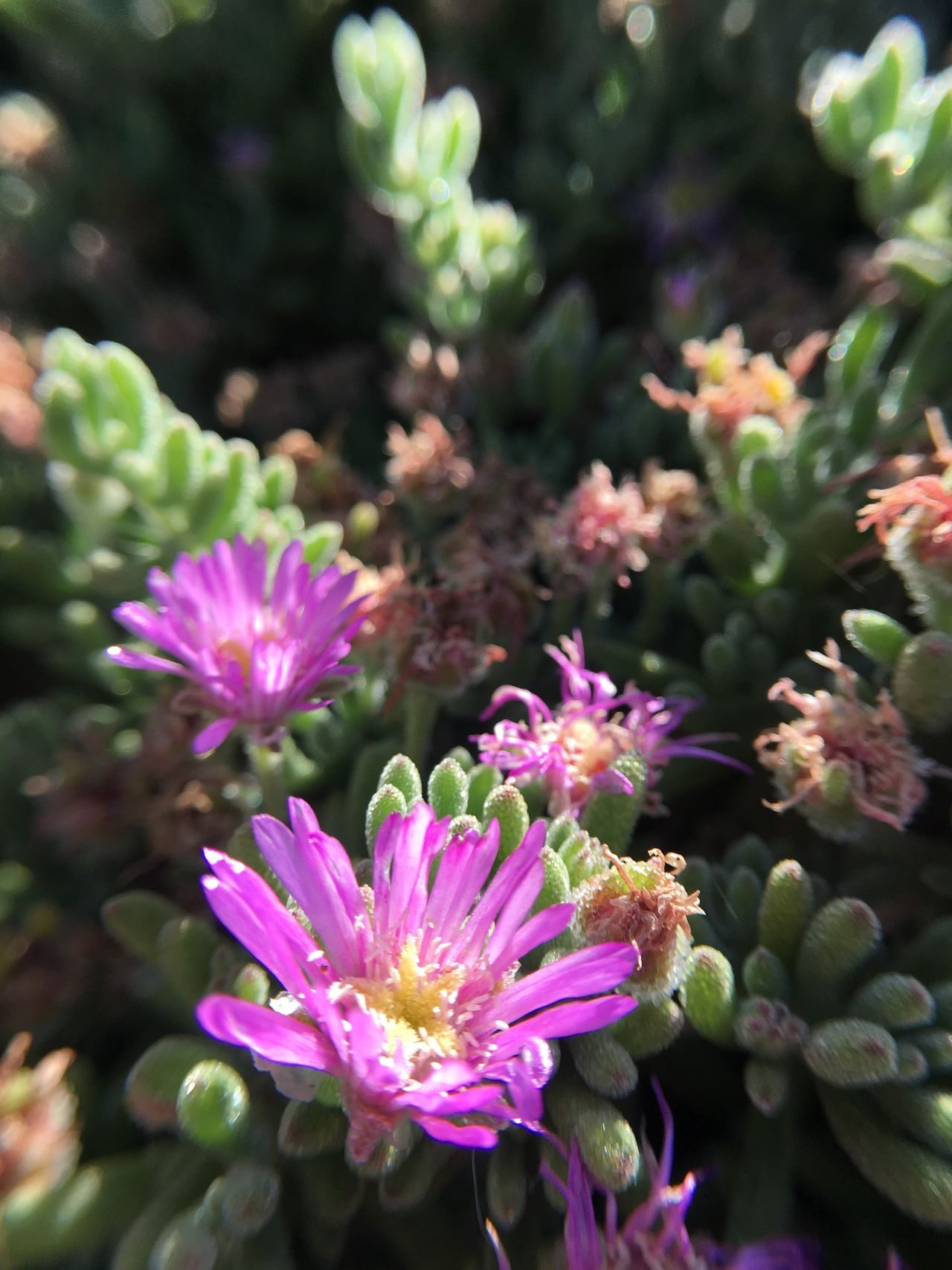 Flower Growth Plant Nature Beauty In Nature Freshness Fragility No People Day Pink Color Petal Close-up Flower Head Outdoors Blooming Succulents Succulent Purple Flower Purple Macro Blossom Drought Resistant Garden Bloom