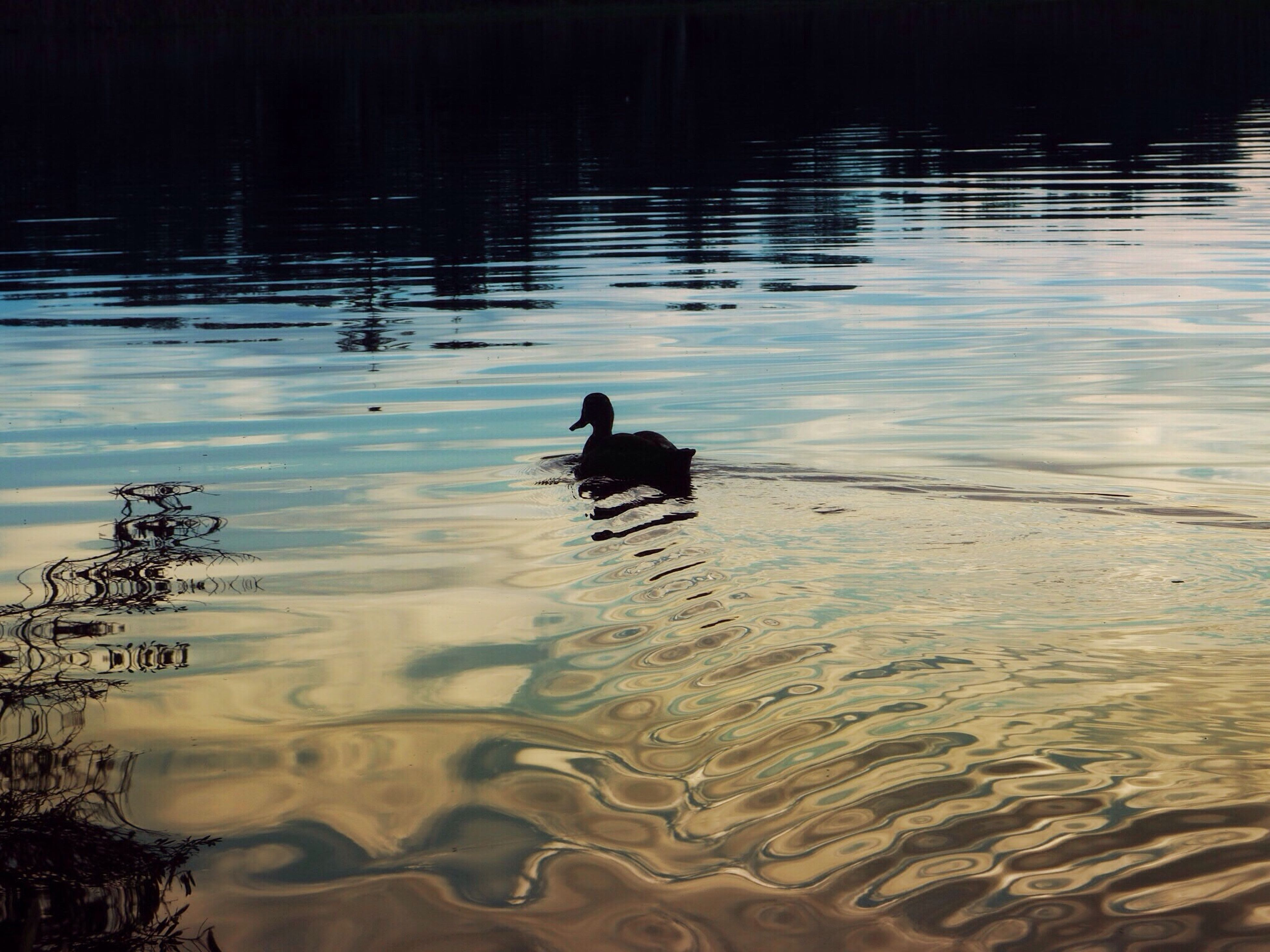 animal themes, water, one animal, lake, reflection, dog, animals in the wild, waterfront, pets, bird, rippled, swimming, wildlife, nature, duck, mammal, black color, outdoors, domestic animals, water bird