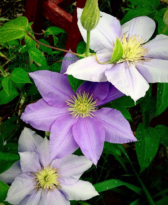 ©Ann Rigley Nature Flowers,Plants & Garden IoLIGHTstudios  Clematis