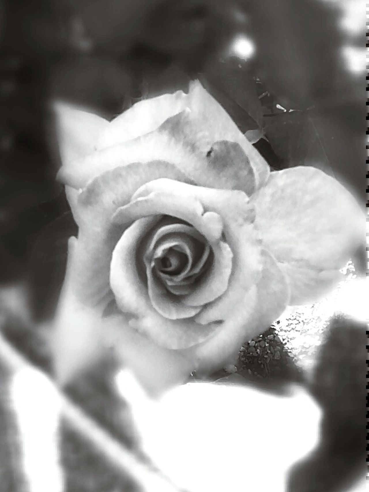 Rose from the shadows. Noir Et Blanc Black And White Photography Svartvitt Black And White Schwarzweiß Fast Through A Slow-motion Landscape Capturing Beauty Black And White Collection  Rosé Roses