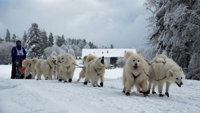 Cold Temperature Dog Jura Race Saignelégier Snow White Winter