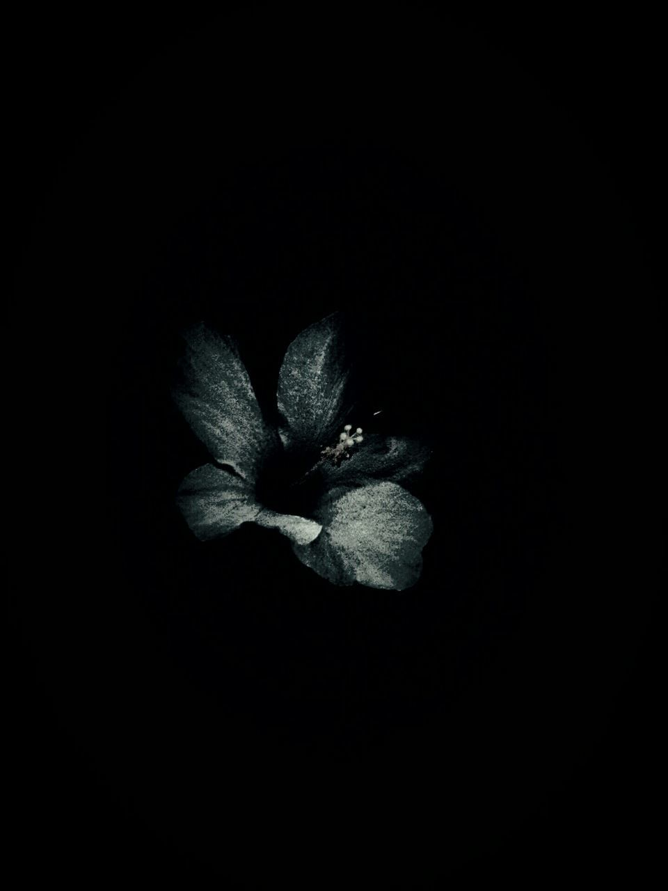 flower, petal, beauty in nature, nature, flower head, growth, fragility, freshness, plant, black background, night, no people, studio shot, close-up, outdoors
