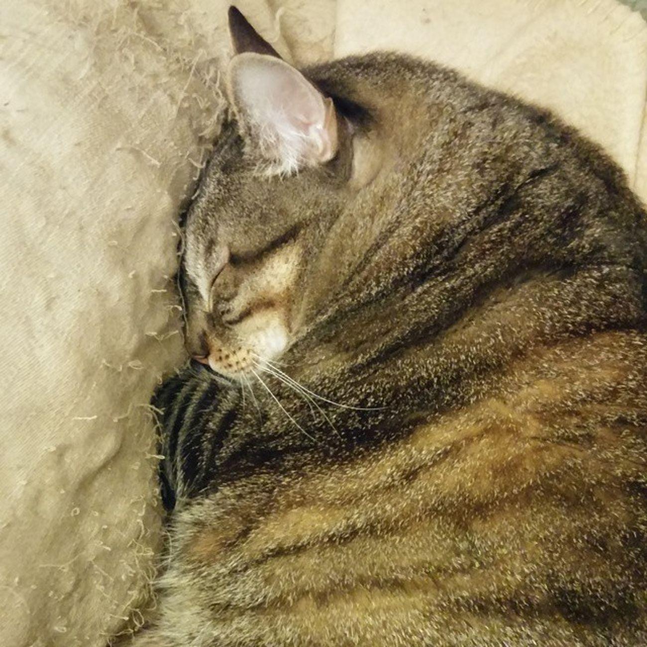 Cat Catsofinstagram Igerscats Sleepingcat Cute Pet TabbyCat Tabby Kali Barcelona World_kawaii_cat