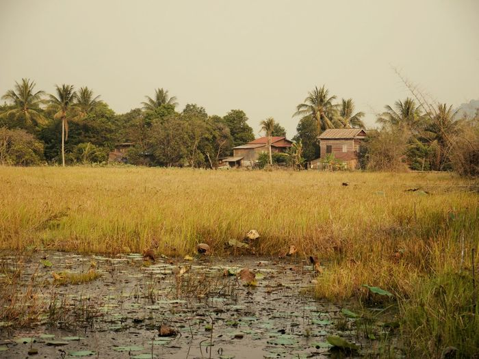 Agriculture Farm Crop  Growth Nature Rural Scene No People Tree Sky Outdoors Beauty In Nature Day Kambodia Kambodscha