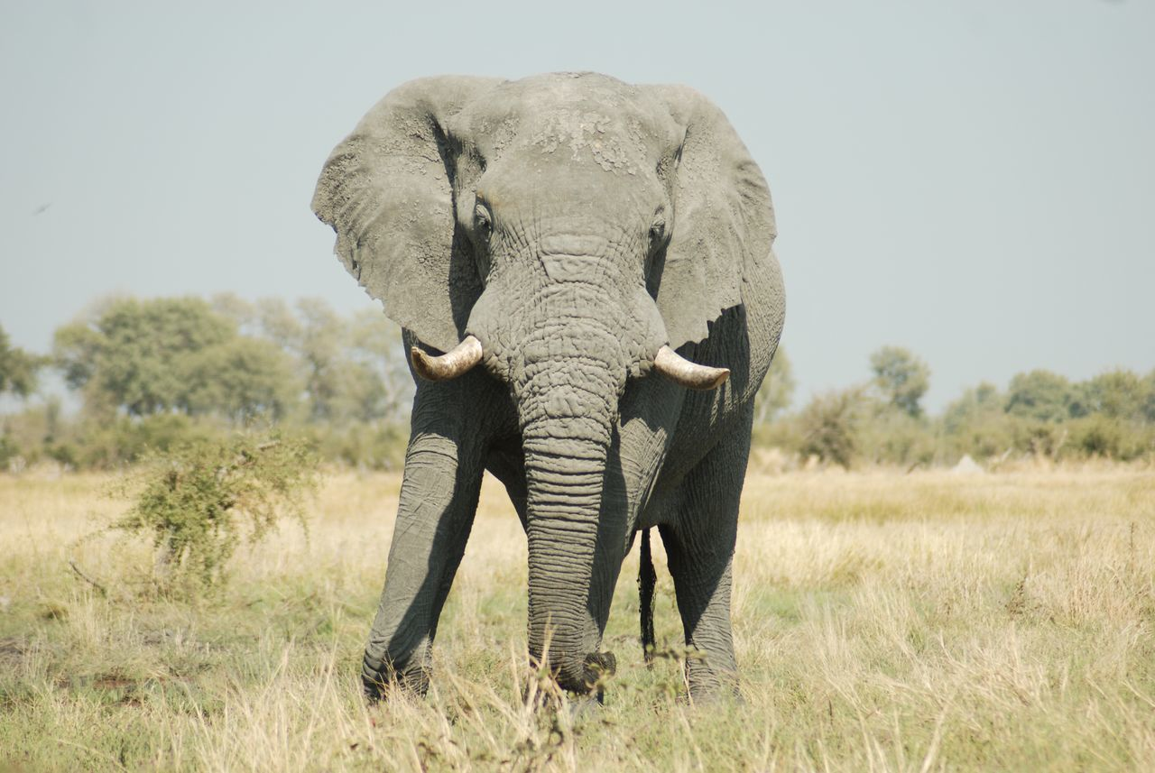 Beautiful stock photos of elephant, African Elephant, Animal Themes, Animal Wildlife, Animals In The Wild