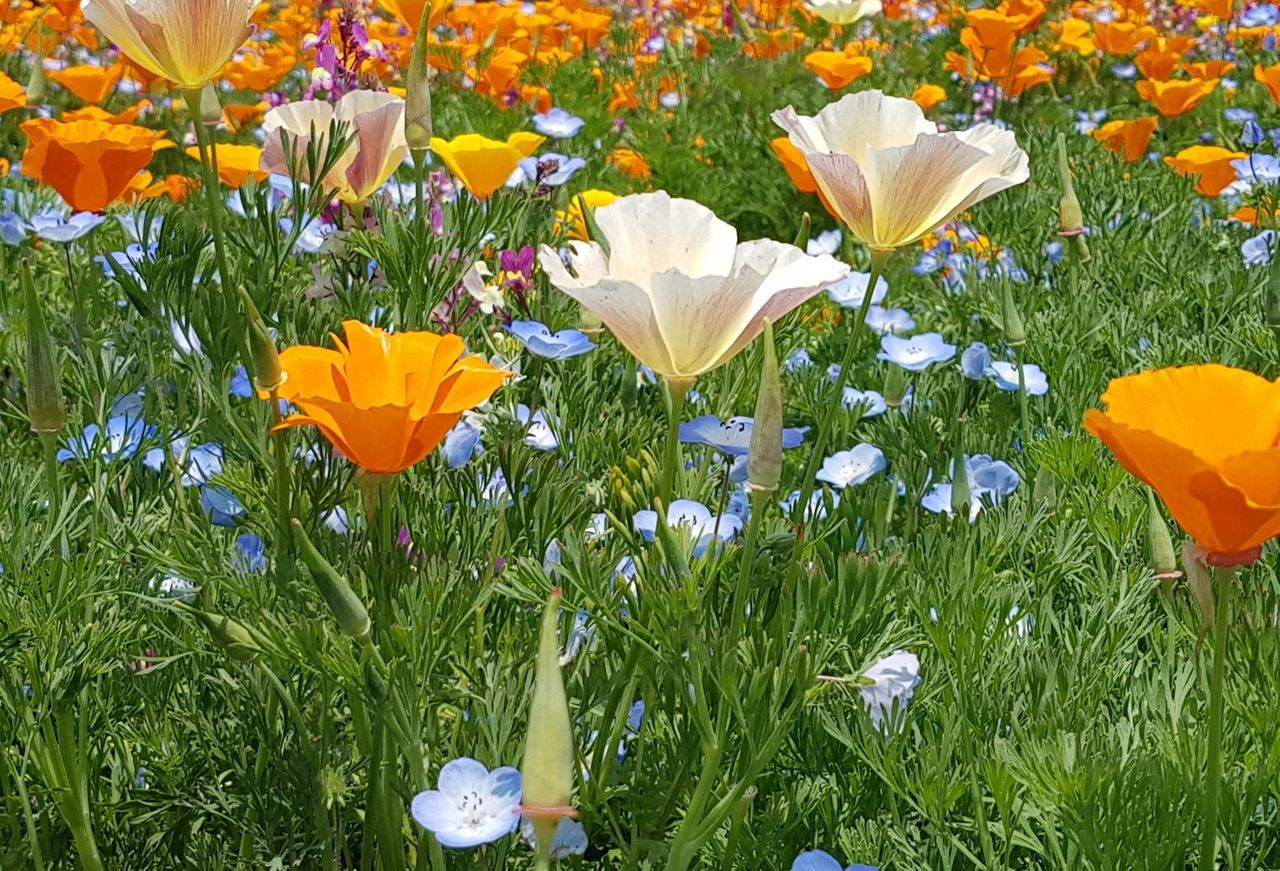 Flower Blue Multi Colored Leaf No People Outdoors Fragility Nature Beauty In Nature Day Close-up Poppy Flowers Nemophila Springtime