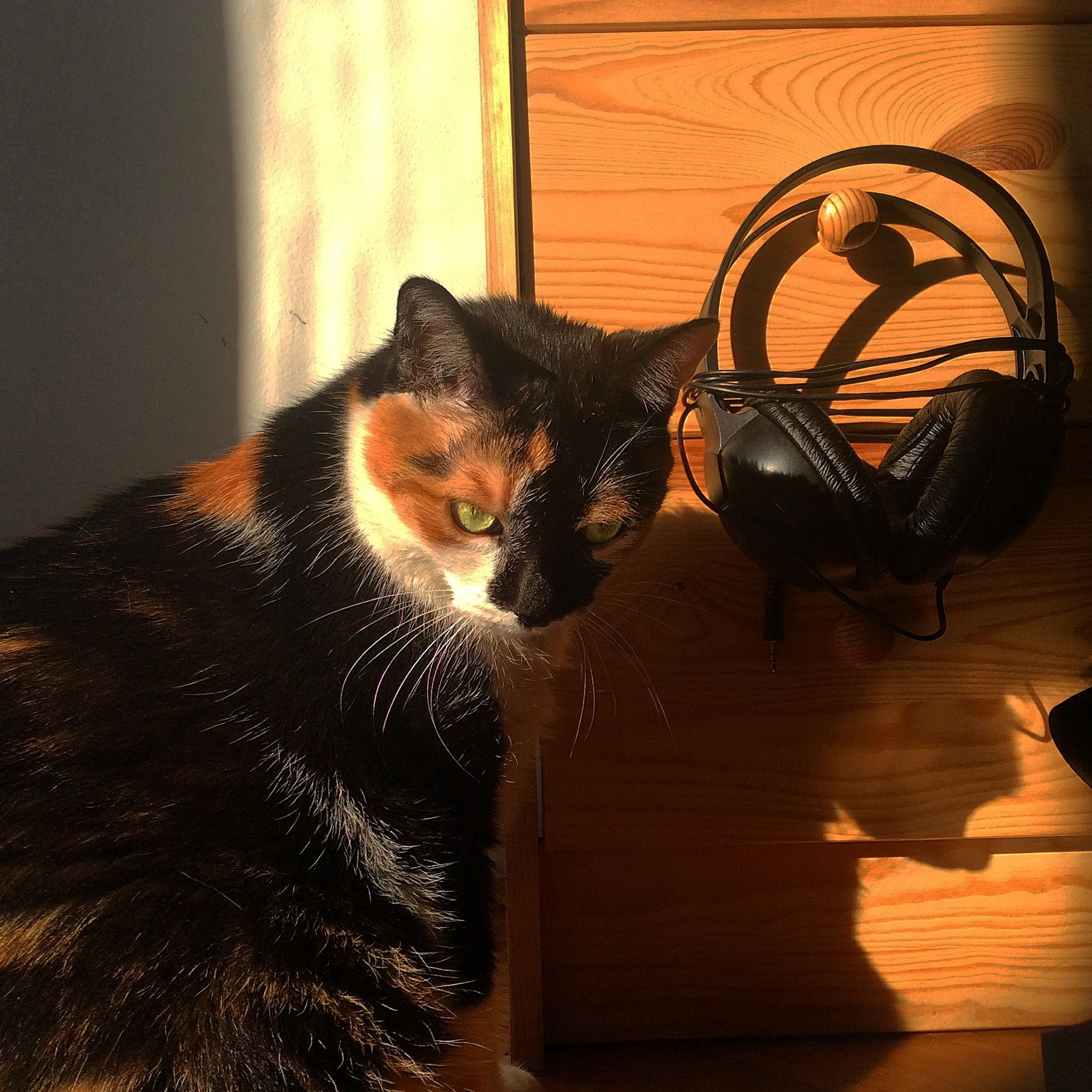 pets, domestic cat, cat, domestic animals, animal themes, mammal, one animal, feline, indoors, whisker, looking at camera, portrait, relaxation, home interior, staring, sitting, no people, wood - material, black color, alertness