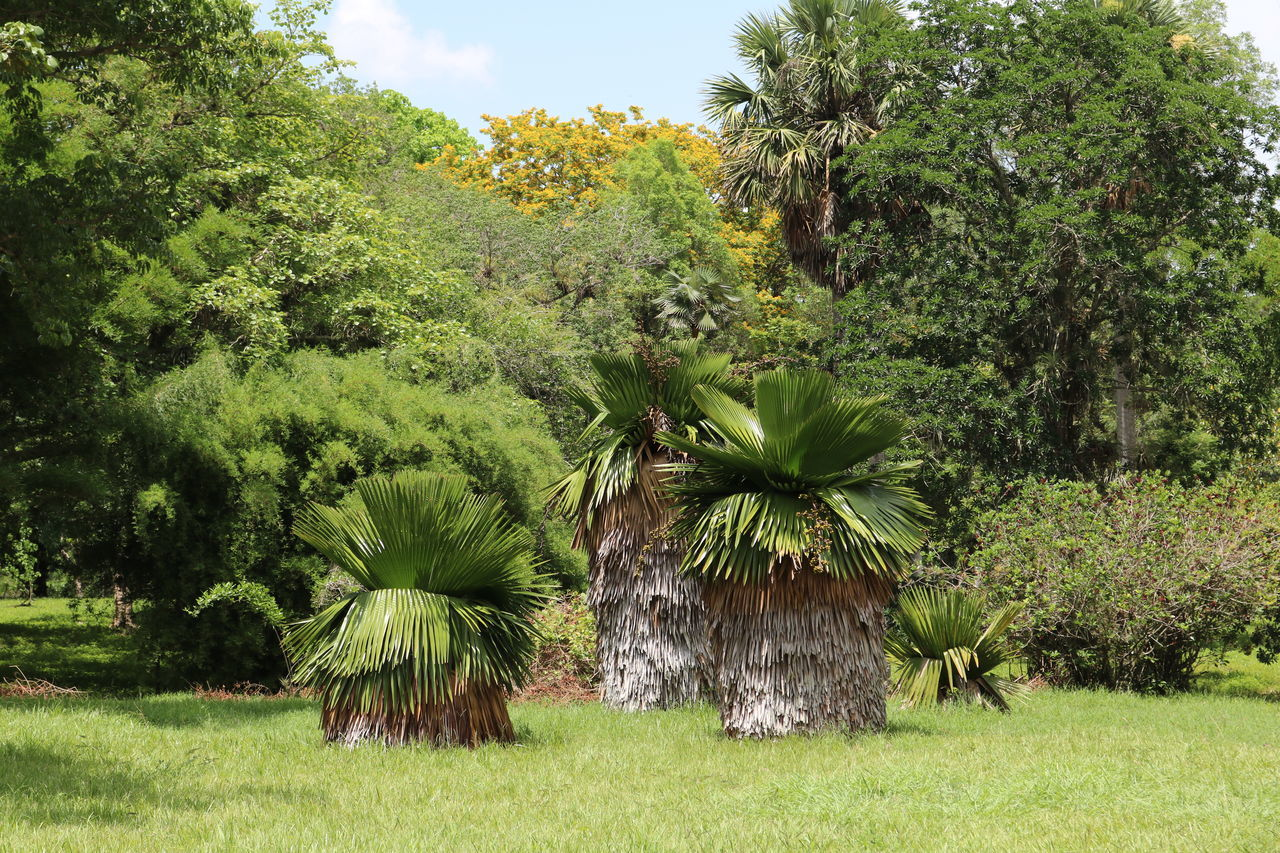 JARDIN BOTANICO SOLEDAD, Botanischer Garten Kuba, in the near of Cienfuegos Beauty In Nature Botanischer Garten Cienfuegos, Cuba Cuba Day Green Color Growth JARDIN BOTANICO SOLEDAD Nature No People Outdoors Palms Scenics Sky Tranquil Scene Tranquility Tree Live For The Story