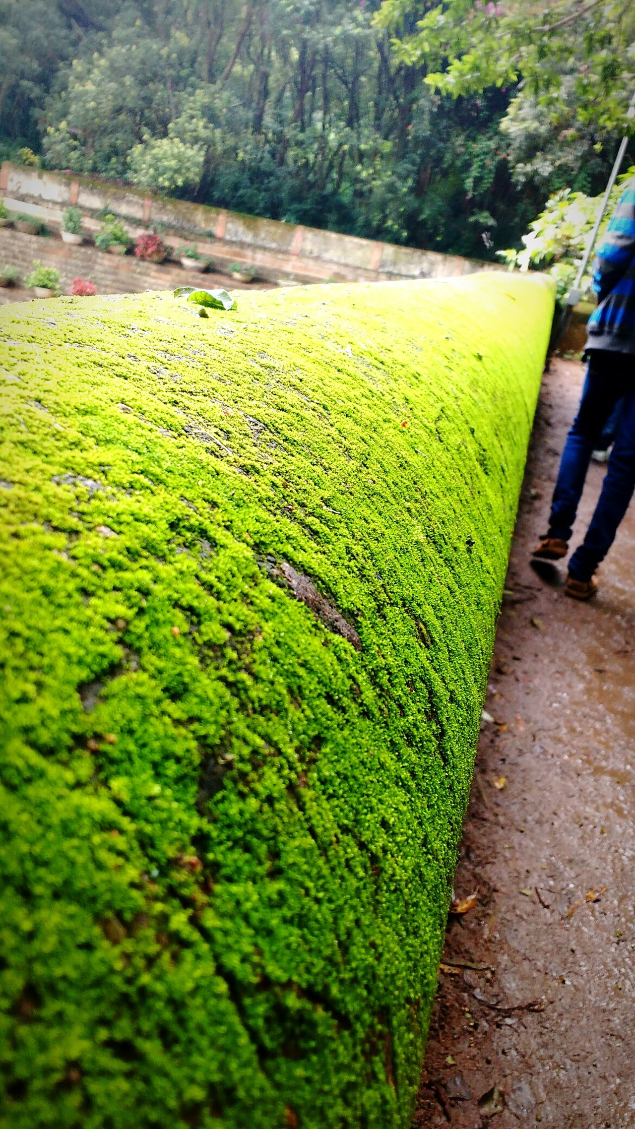 The Green embraces the Ground. Nature adds Beauty! Green worlds Greenlovesground Green Color Pathway Perspectives Diminishing Perspective Walkway Nature Formal Garden Tranquility Greenworld Green Lovegreen Nandihills