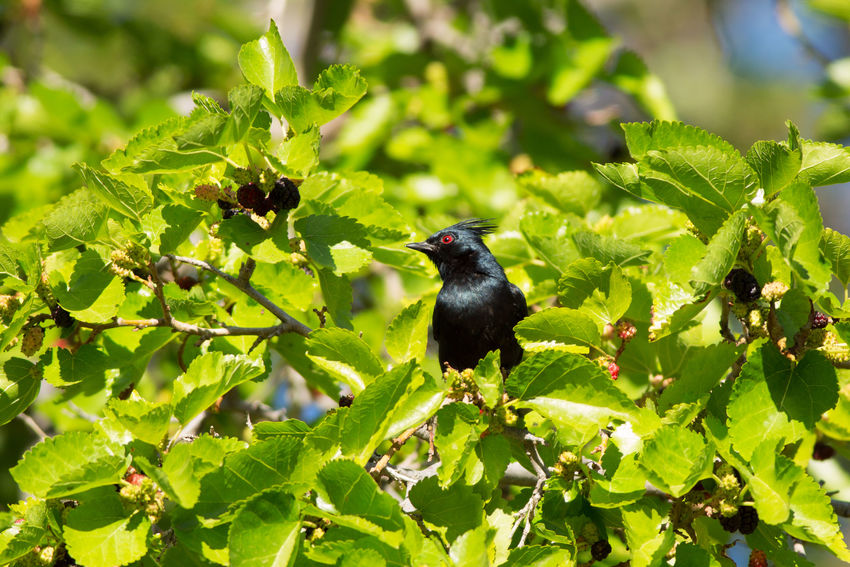 Phainopepla Animals In The Wild One Animal Animal Wildlife Green Color Animal Themes Nature Leaf No People Outdoors Black Color Perching Beauty In Nature Mulberry Tree Phainopepla Grafton Ghost Town Utah Southern Utah
