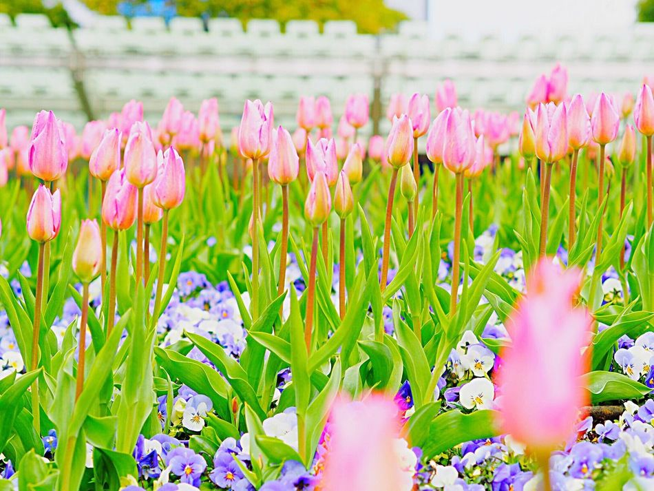 https://youtu.be/D-2fYPEz2lo Flower Nature Beauty In Nature Fragility Growth Freshness Plant Flower Head Focus On Foreground Blooming Tulip チューリップ Pink Color Roppongihills Roppongi 六本木ヒルズ Japan Photography Japanese Landscape Springtime Blossom Tokyo,Japan Olympus Om-d E-m10 Millennial Pink