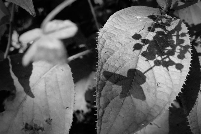 鳩。 Nature Leaf Beauty In Nature Shadow ガクアジサイ 額紫陽花 Monochrome Bird Pigeon Monochrome Photography