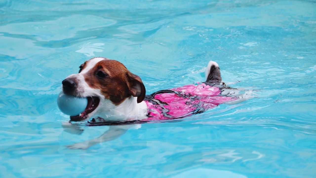 Summer Dogs Jackrussell Dog Swimming Dog's Pool