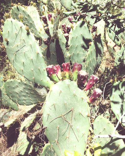 Growth Green Color Cactus Nature Plant Thorn Leaf Outdoors Day Prickly Pear Cactus No People Sunlight Uncultivated Close-up Freshness
