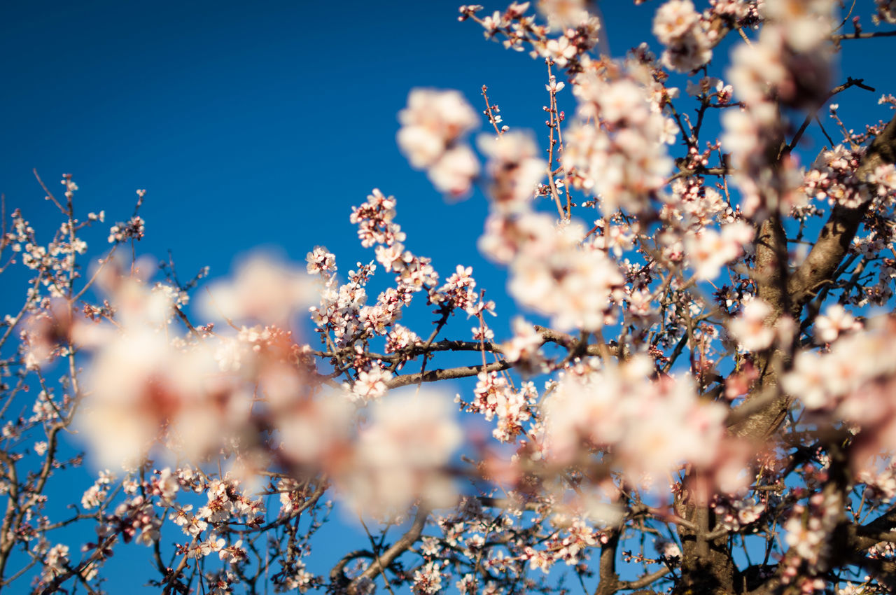 Beautiful stock photos of tree, Branch, Cherry Blossom, Cherry Tree, Clear Sky