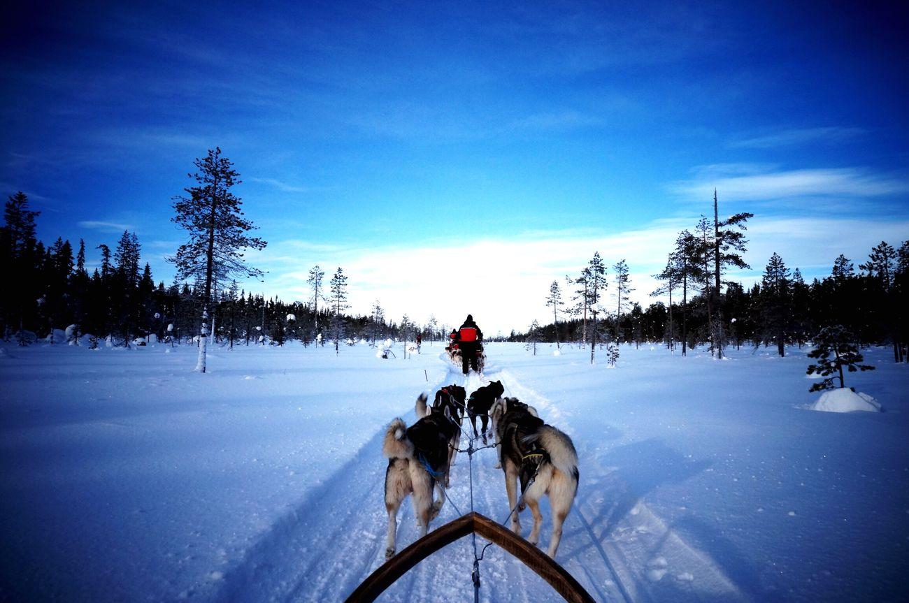 Dogsledding Finland Snow White Levin Kittira フィンランド 湖上 犬ソリ