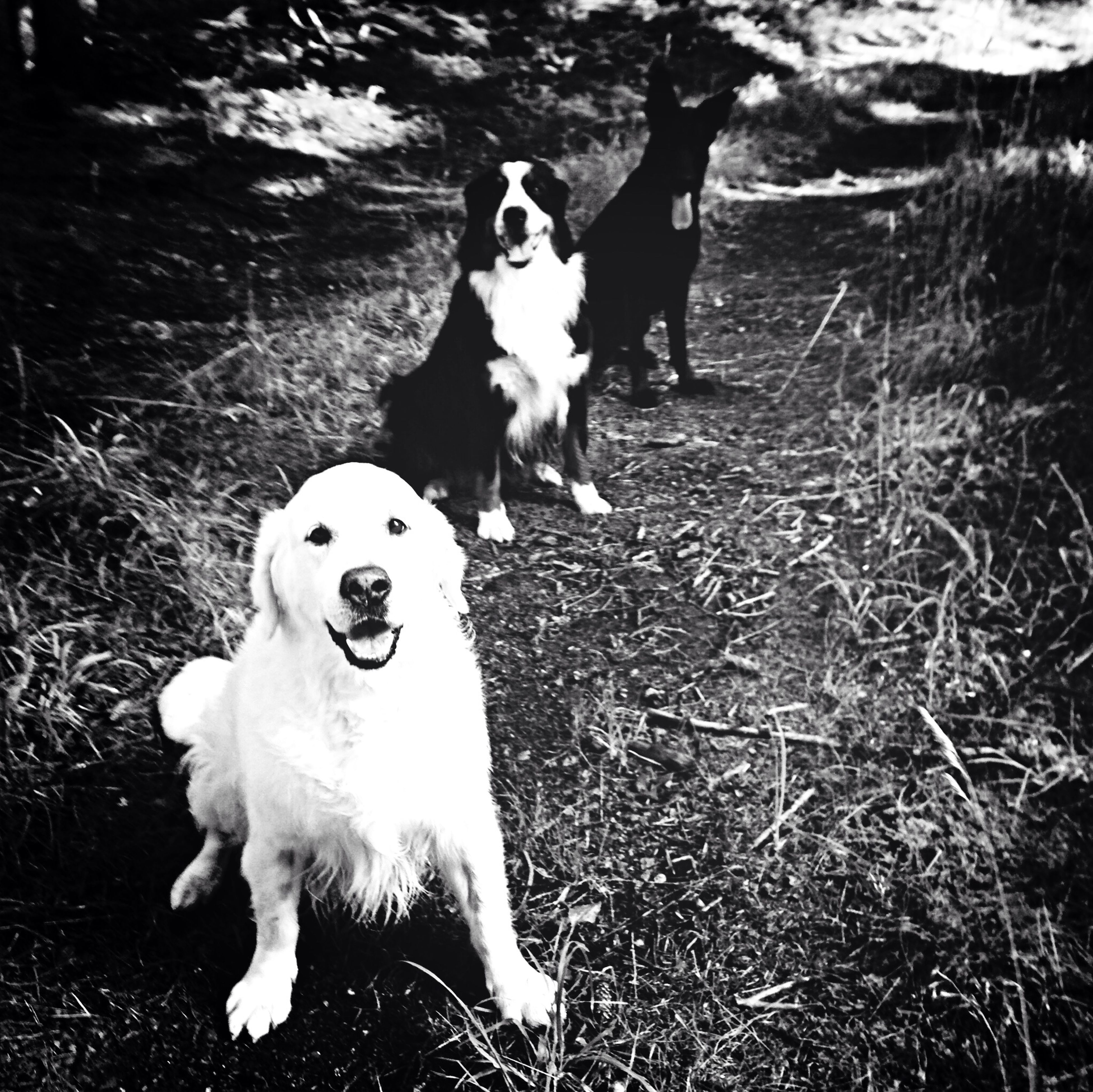 White, Black, Black n White and Fifty Shades of Grey Black & White Dogs Having Fun 'Three Is A Magic Number'