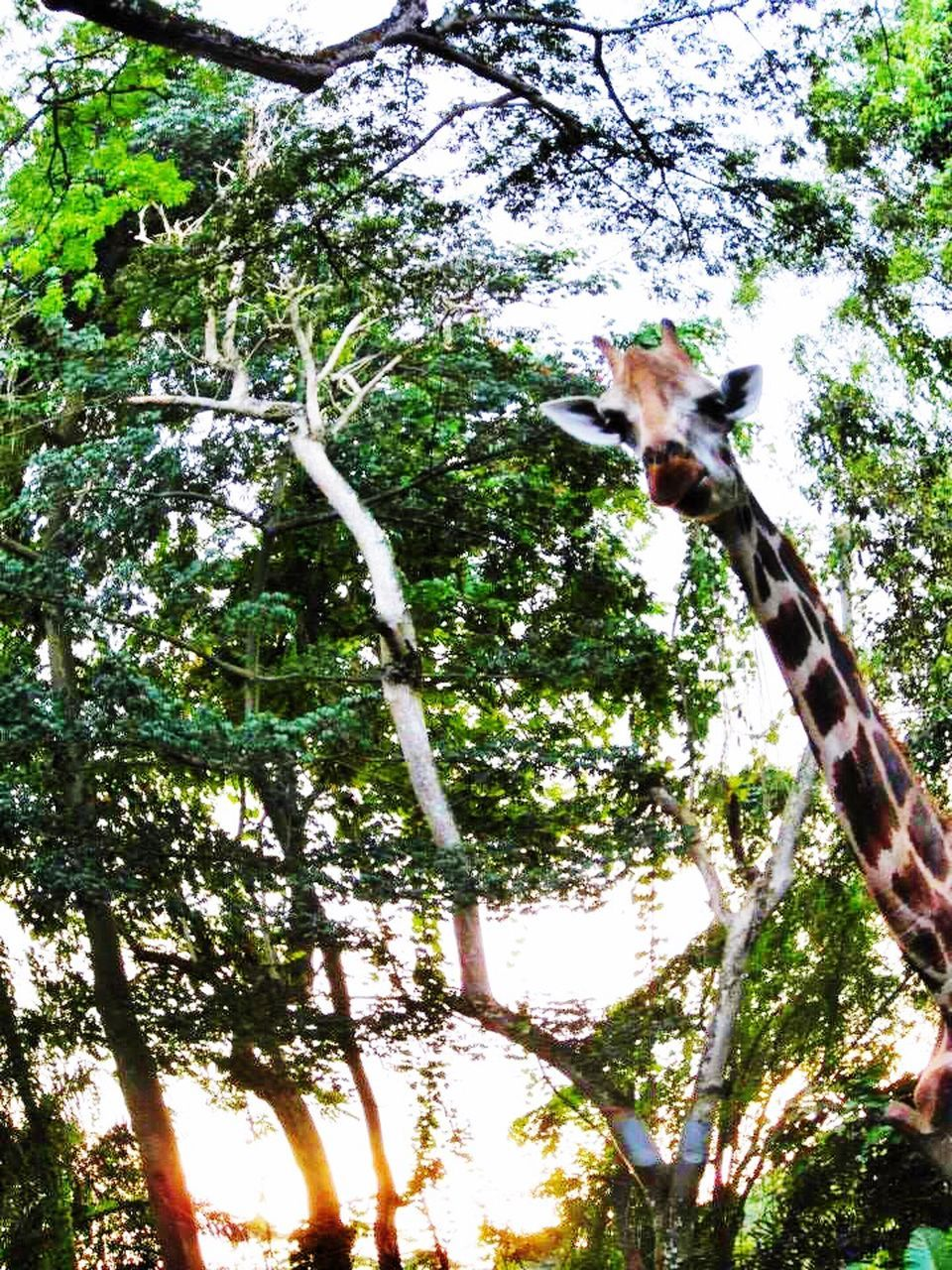 tree, one animal, animal themes, low angle view, mammal, day, herbivorous, branch, tree trunk, domestic animals, no people, nature, outdoors, giraffe, growth, hanging, animals in the wild