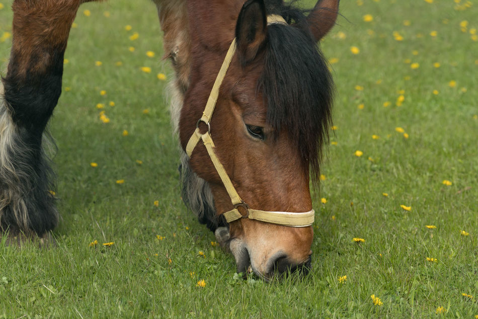 Horse (Ardenner) Animal Themes Animals Close Up Grazing Horse Growth Horse No People One Animal Outdoors Spring Springtime Working Animal