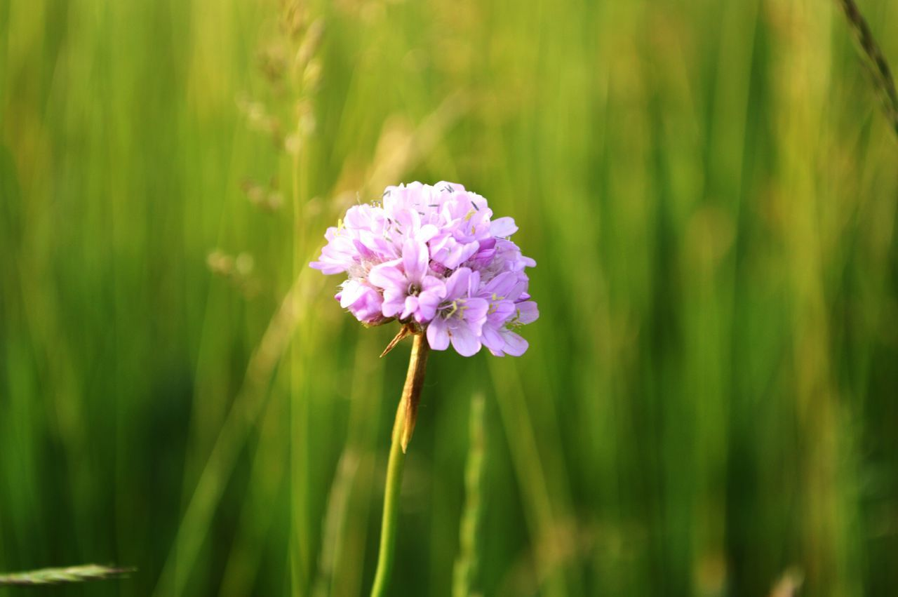 Flower Purple Fragility Nature Beauty In Nature Plant Flower Head Freshness Outdoors Wildflower Growth No People Day Close-up Nikonphotography Nikon D3200 Naturelovers Around My Home Hello World ✌ Hobbyphotography My Photography Poland Myhome Sunnyday☀️ Beauty In Nature