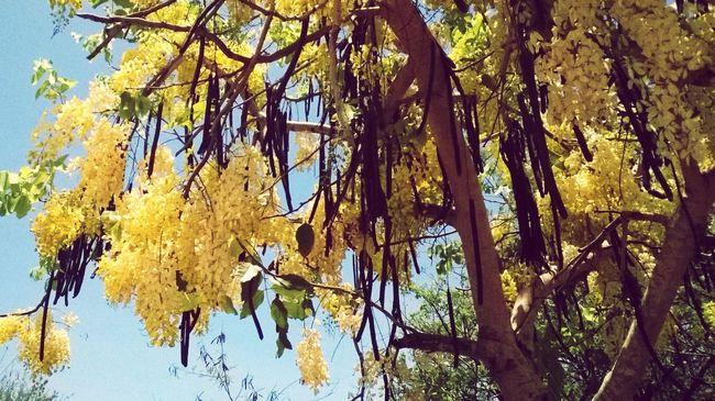 Trees Framboyan