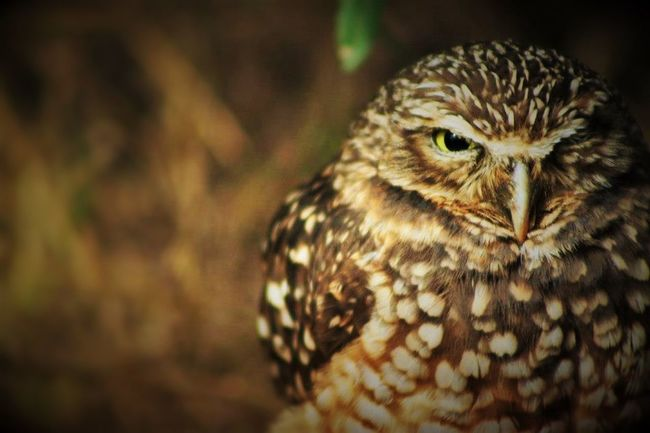 Animal Themes Avian Beak Beauty In Nature Bird Bird Of Prey Close-up Looking Looking At Camera Nature No People One Animal One Eye Open Owl Owl Eyes Wildlife