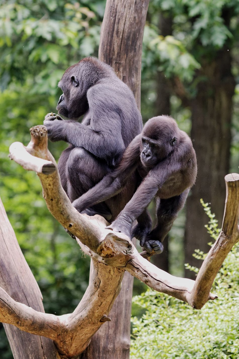 Beautiful stock photos of gorillas, Animal Themes, Animals In The Wild, Bare Tree, Black Color