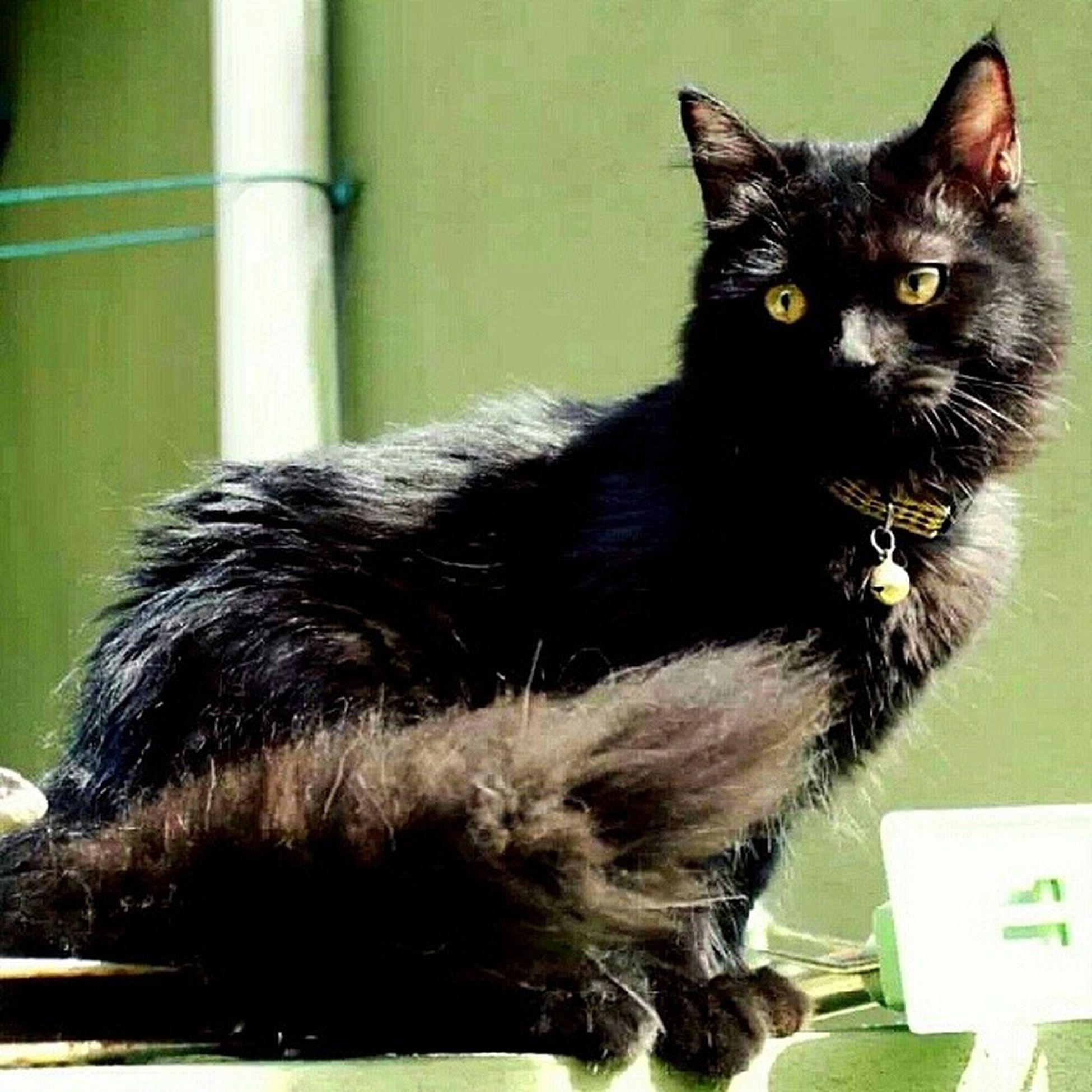 Tammy dok usha memeow dara. Umur baru 9 bulan dah sibuk nak Mengawan >·< Aristacats Kucing Blacky  blackcat instacat igclubcats igcats igmalaysian catsoftheday catstagram catlover catsofinstagram neko gato kot kedi kissa meow