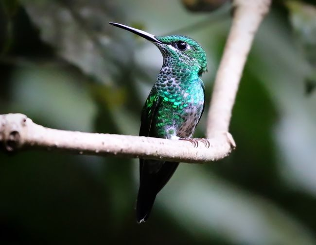 Hummingbird Animal Themes Animal Wildlife Animals In The Wild Beauty In Nature Bird Branch Close-up Day Focus On Foreground Hummingbird Nature No People One Animal Outdoors Perching