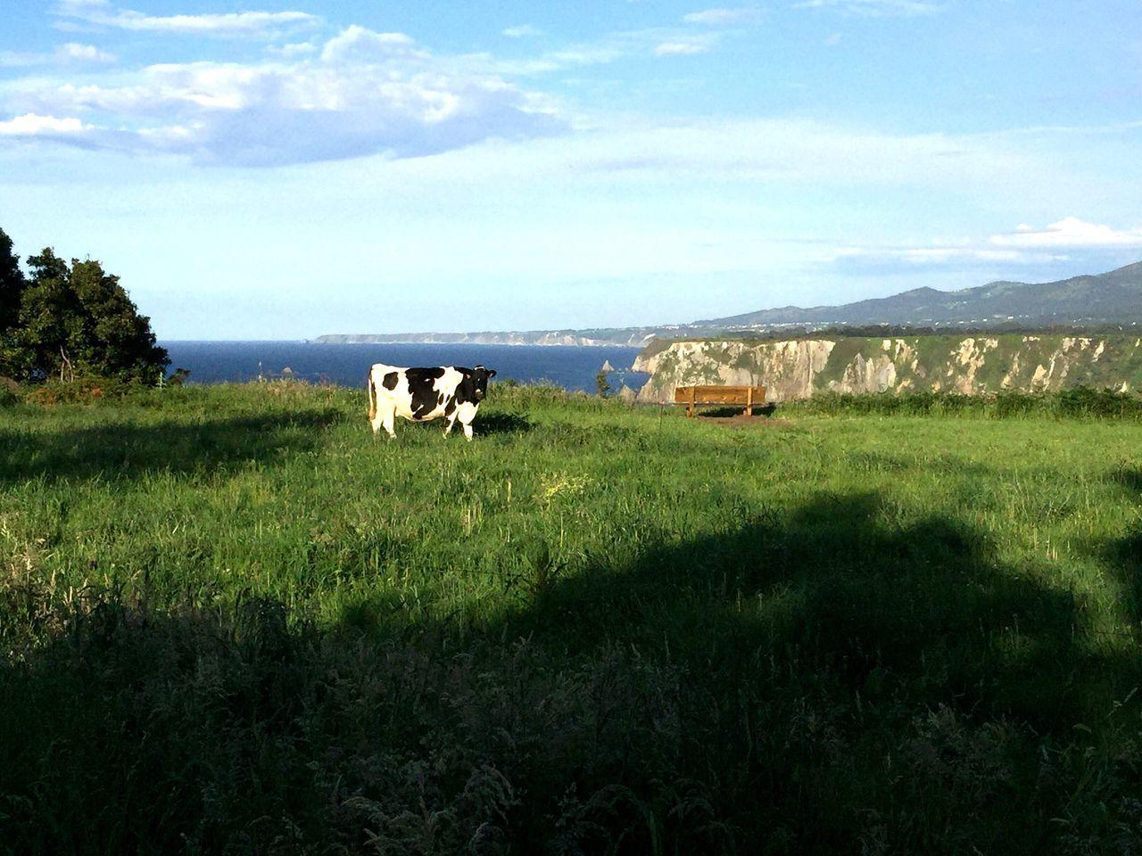 Nature -Vaca Pastando En Los Acantilados De Querúas-Luarca-Asturias-España.