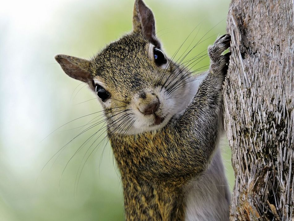 Beautiful stock photos of squirrel, one animal, animal themes, close-up, whisker